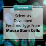 Scientists developed fertilized eggs from mouse stem cells