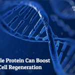 A single protein can boost stem cell regeneration