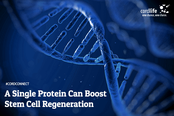 A-Single-Protein-Can-Boost-Stem-Cell-Regeneration