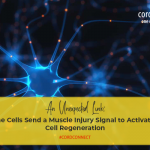 An unexpected link: immune cells send muscle injury signal to activate stem cell regeneration