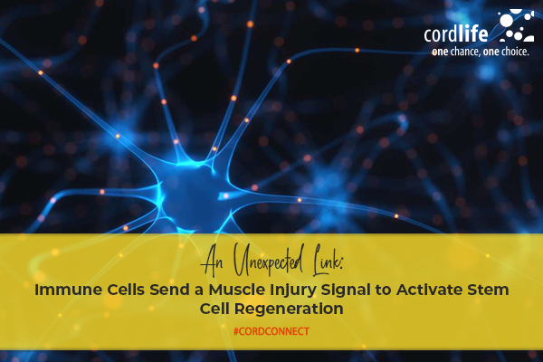 An-Unexpected-Link-Immune-Cells-Send-a-Muscle-Injury-Signal-to-Activate-Stem-Cell-Regeneration