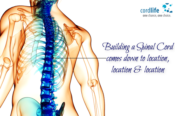 Building a spinal cord
