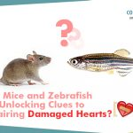 How mice and zebrafish are unlocking clues to repairing damaged hearts?