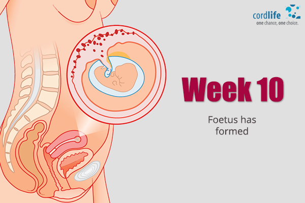 Week-10-Foetus-has-Formed